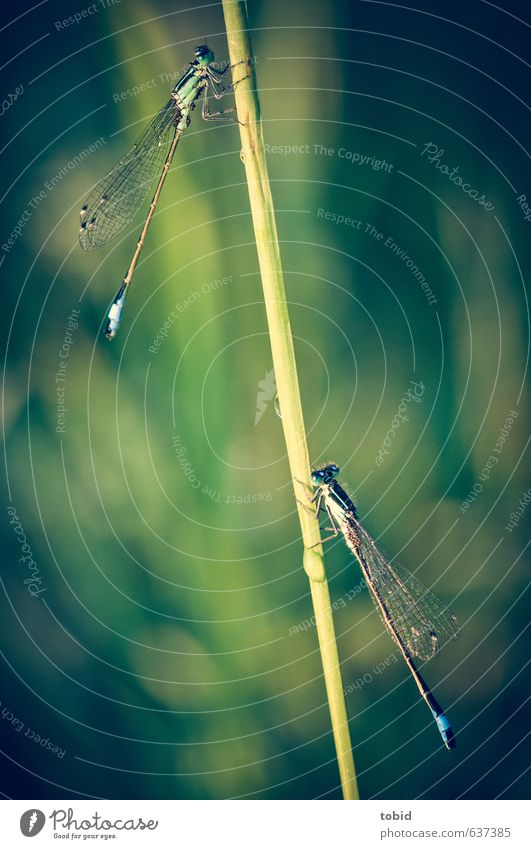 hanging out together ... Nature Animal Beautiful weather Dragonfly Dragonfly wings Damselfly 2 Hang Esthetic Blue Green Colour photo Exterior shot Deserted