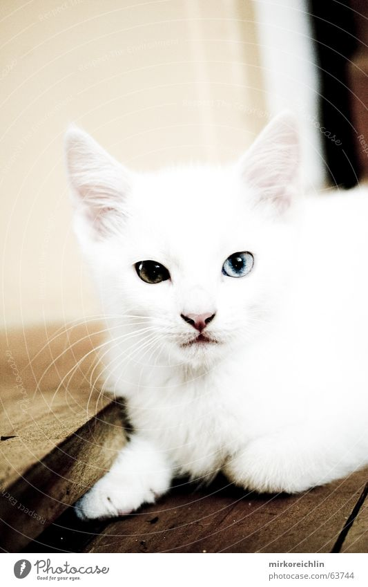 Two-Eyes Cat White Small Cute Sincere Curiosity Paw Pointed Yellow Brown Turkey Angora cat Colour Snow Looking Shock bigway Ear Blue Domestic cat queen