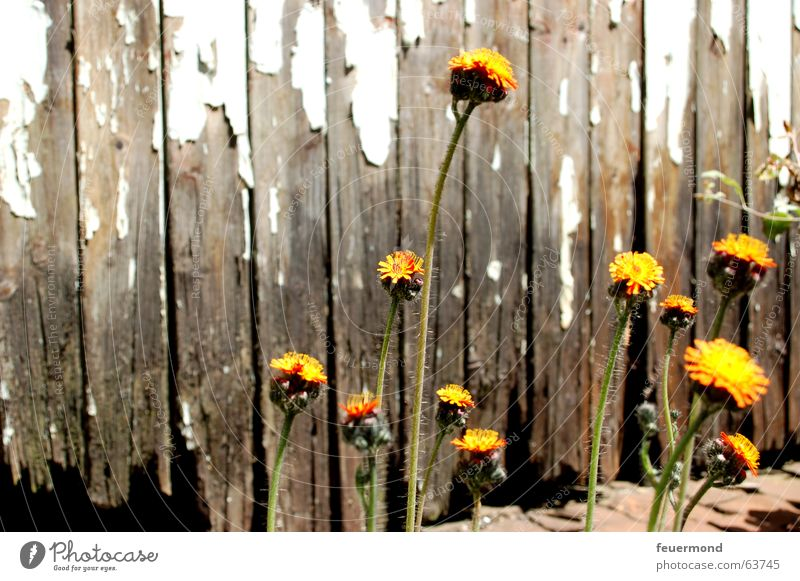 A little bit of life... Flower Blossom Plant Yellow Survive Leaf Wood Broken Live Life Orange Colour Old Gate Wooden board bloom