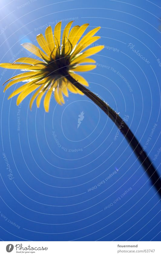 Sky Sun Flower Blue Yellow Blossom Lighting Large Stalk Blossom leave