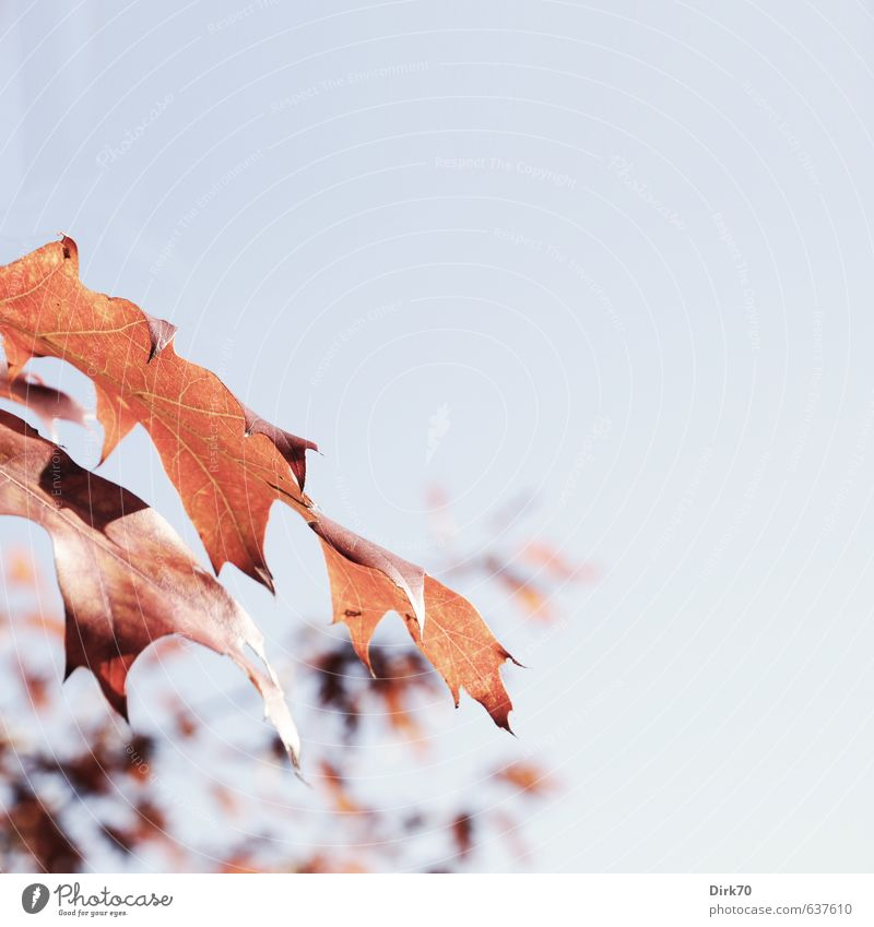 Nature Blue Old Plant Tree Red Leaf Life Autumn Natural Park Illuminate Growth Beautiful weather Transience Change