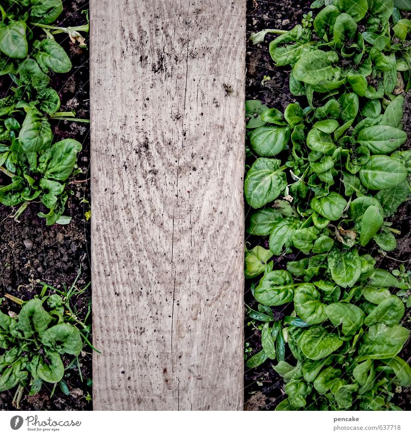 doping Vegetable Lettuce Salad Nutrition Nature Elements Earth Spring Plant Leaf Relaxation Eating To enjoy Growth Spinach Wooden board Greenhouse Harvest