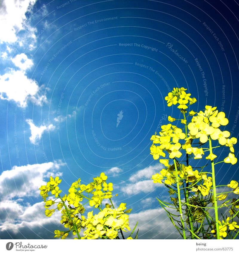Sky Clouds Blossom Field Agriculture Universe Bouquet Flower meadow Canola Honey