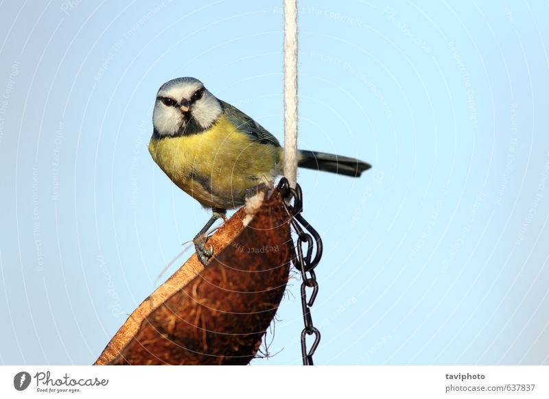 blue tit looking at the camera Sky Nature Blue Beautiful Green Animal Winter Yellow Small Brown Bird Free Cute Living thing Posture Appetite
