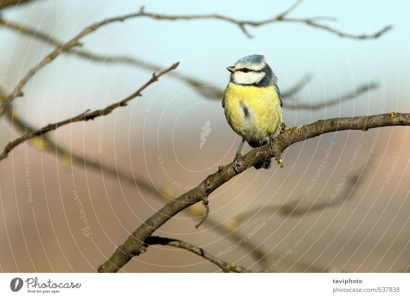 bluetit perched in tree Beautiful Life Winter Garden Environment Nature Landscape Animal Tree Forest Bird Small Natural Wild Blue Yellow Colour Tit mouse