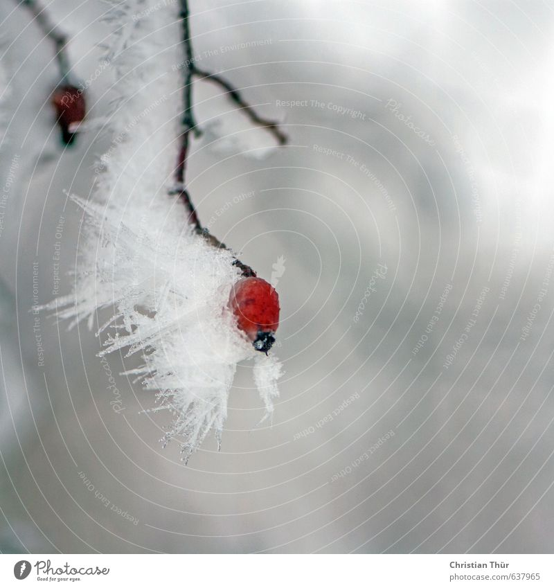 winter frost Environment Nature Plant Animal Winter Ice Frost Snow Bushes Wild plant Beautiful Brown Gray Red White Emotions Moody Esthetic Inspiration Cold