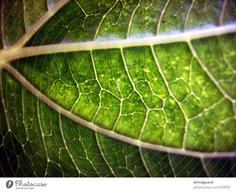 veins Leaf Green Macro (Extreme close-up) Plant Vessel Leaf green Light Growth Provision Nutrition Sunflower Photosynthesis Close-up Life Structures and shapes