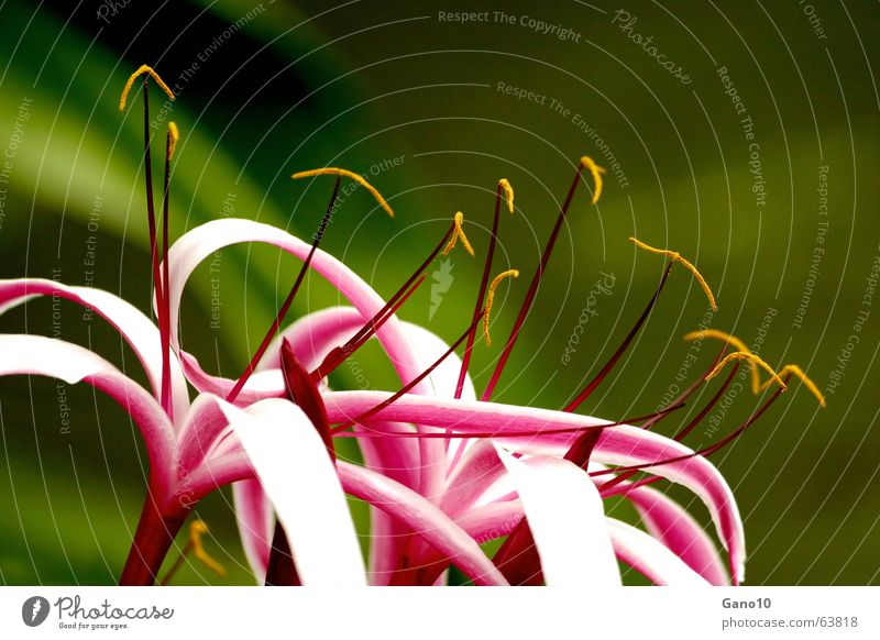 Beautiful White Playing Blossom Pink Elegant Delicate Lily Vertical Fragile Curved Sensitive