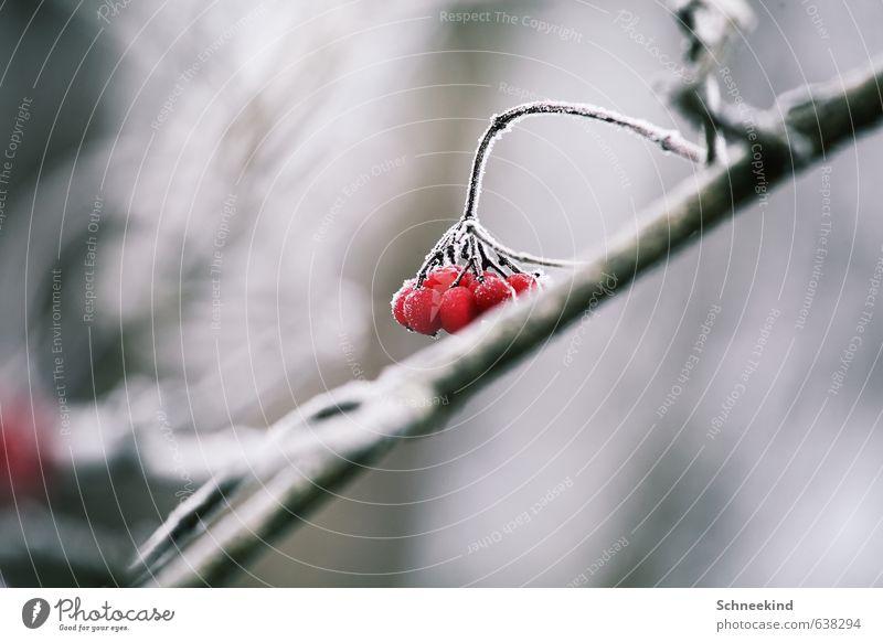 frozen fruit Environment Nature Landscape Plant Animal Winter Ice Frost Snow Bushes Wild plant Garden Park Cold Deep frozen Berries Red Colour photo
