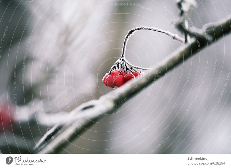 Nature Plant Red Landscape Animal Winter Cold Environment Snow Garden Ice Park Bushes Frost Berries Wild plant