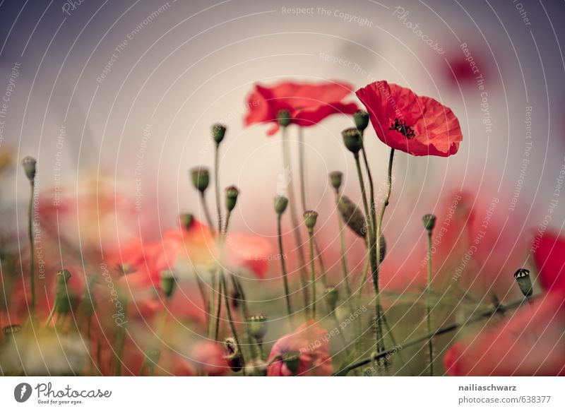 Poppies on summer meadow Summer Sun Garden Flower Grass Meadow Field Blossoming Fragrance Blue Green Red Peaceful Idyll Poppy Corn poppy papaver rhoeas