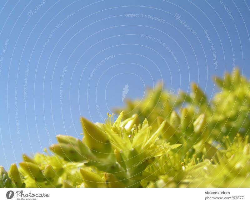 Nature Sky Flower Blue Plant Summer Yellow Colour Blossom Botany Part of the plant Wild plant Trailing plant