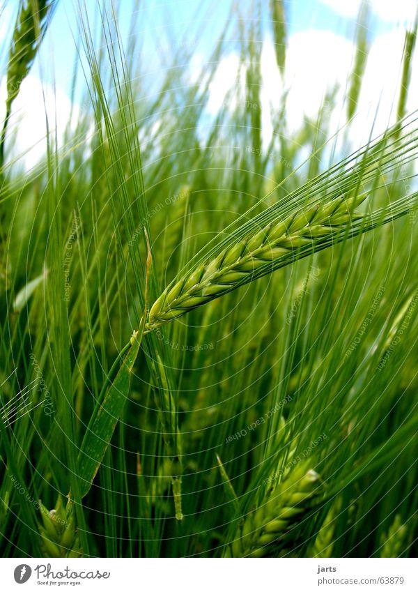 Nature Sky Summer Field Grain Agriculture Americas Organic produce Cornfield
