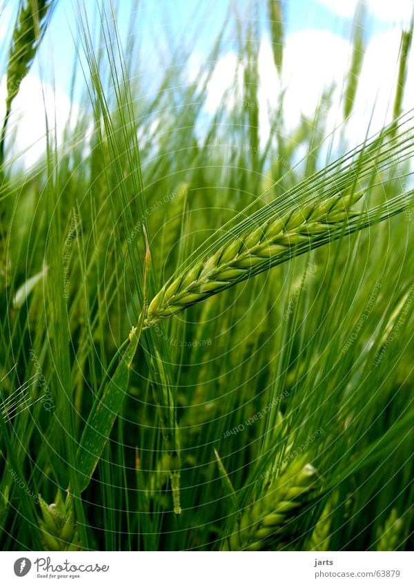 Nature Sky Summer Field Grain Agriculture Americas Grain Organic produce Cornfield