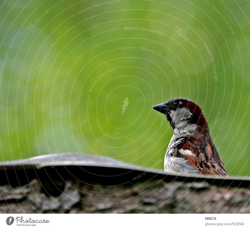 Sparrow on the roof Roof Wood Watchfulness Feather Beak Green Brown Gray Looking Observe