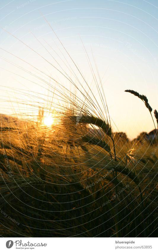 Sky Blue Sun Calm Yellow Warmth Moody Gold Field Grain Grain Dusk Wheat Thorn Ear of corn Evening sun