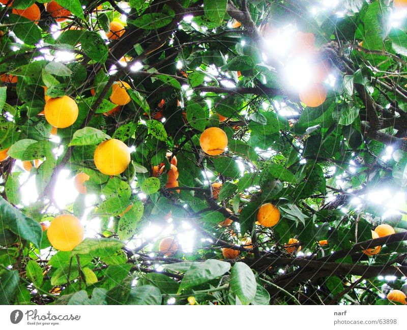 Orange Heaven Light Mount Eden tree fruits orange heaven leaves day agriculture branches garden
