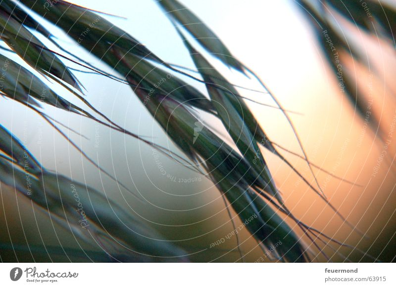 Plant Grass Moody Romance Grain Evening sun