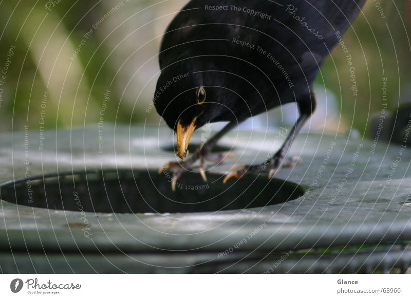 fast food Blackbird Bird Trash container Feeding