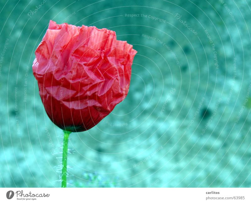 Flower Red Loneliness Blossom Small Concrete Transience Blossoming Wrinkles Poppy Fragile Extraterrestrial being Sensitive Faded Delicate Vulnerable