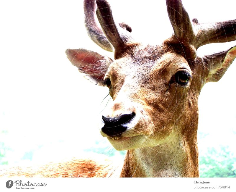 rudi Deer Roe deer Animal Pallid Antlers Snout Amazed Life Background picture Green Brown White Overexposure Forest animal Buck Elk Wild animal wildness Eyes
