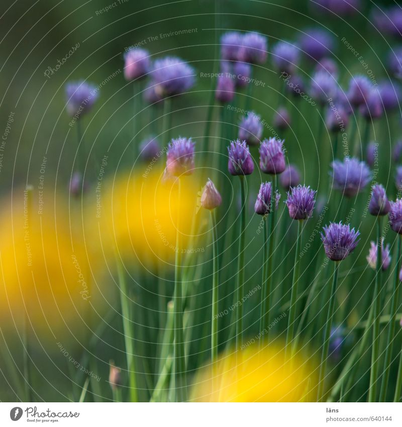 Nature Green Plant Summer Yellow Environment Garden Food Growth Blossoming Violet Fragrance Agricultural crop Wild plant Chives Poppy blossom