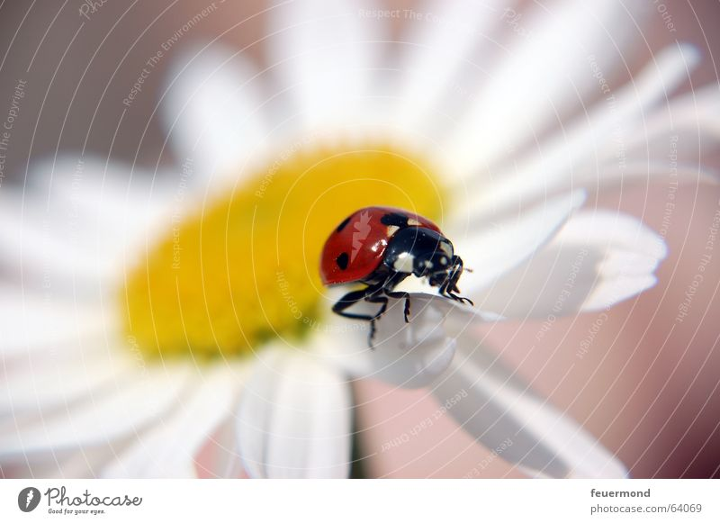 Bug fly! Ladybird Blossom Insect Animal Red Yellow White Plant Summer Blossom leave Planning Macro (Extreme close-up) Beetle margarite Marguerite