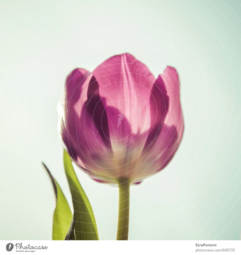 X-rayed Environment Nature Plant Sky Sun Spring Summer Beautiful weather Flower Tulip Leaf Blossom Garden Illuminate Esthetic Bright Natural Blue Green Pink Red
