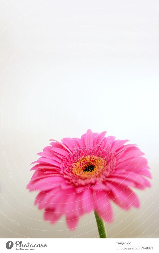 Flower Joy Loneliness Blossom Spring Orange Pink Stalk Blossoming Progress Individual Gerbera Magenta Bright background