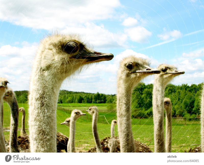 Sky Clouds Animal Bird Funny Multiple Observe Direction Ostrich