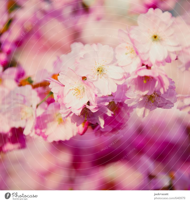 Beautiful Blossom Spring Natural Happy Pink Fresh Elegant Esthetic Blossoming Warm-heartedness Soft Romance Kitsch Delicate Pure