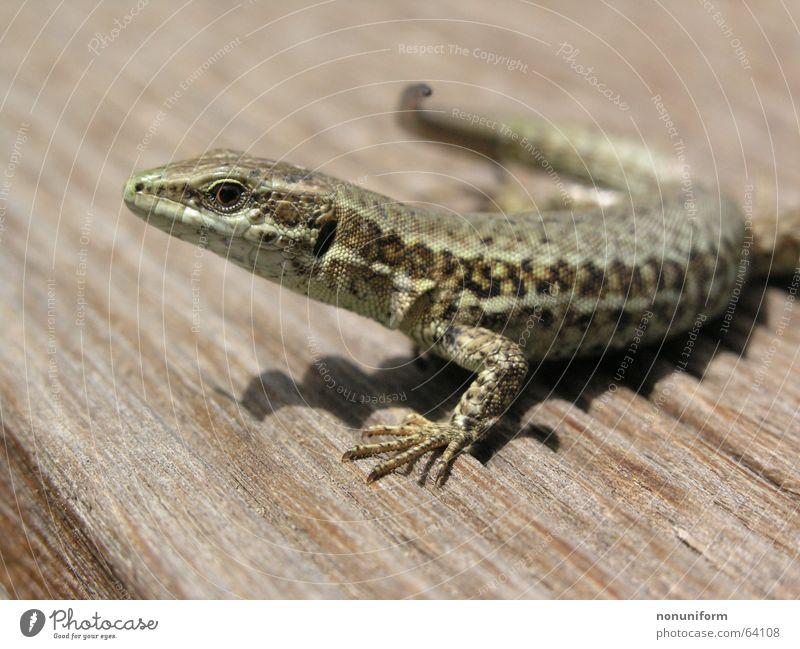 Animal Wood France Reptiles Saurians Lizards