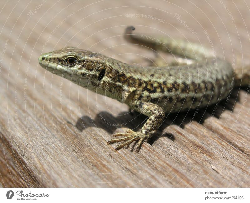 Poikilothermer after lifesaving Lizards Wood Reptiles Saurians France Animal Close-up
