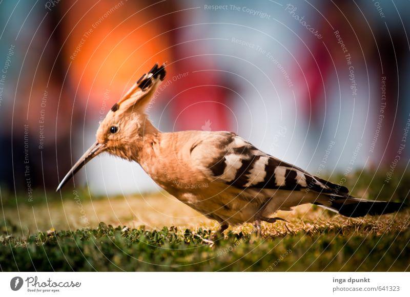 Nature Landscape Animal Environment Meadow Garden Bird Park Wild animal Wing Metal coil Environmental protection Beak Racken birds Hoopoe Peck