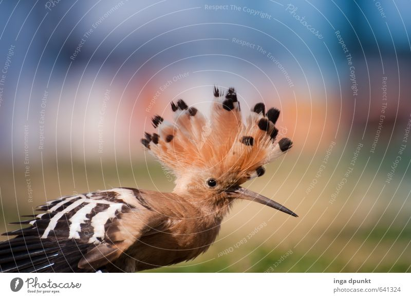 Indian chief Environment Nature Animal Nature reserve Endangered species bird protection Wild animal Animal face Wing Bird Songbirds Hoopoe Racken birds 1