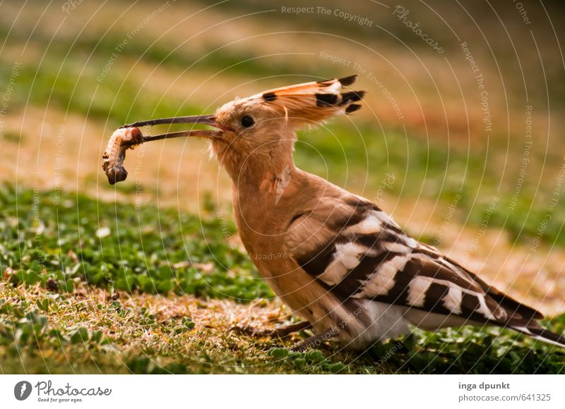 Meal! Environment Nature Landscape Animal Bird Zoo 1 Catch To feed Feeding Hoopoe Worm Peck Food Racken birds Colour photo Exterior shot Deserted Day Shadow