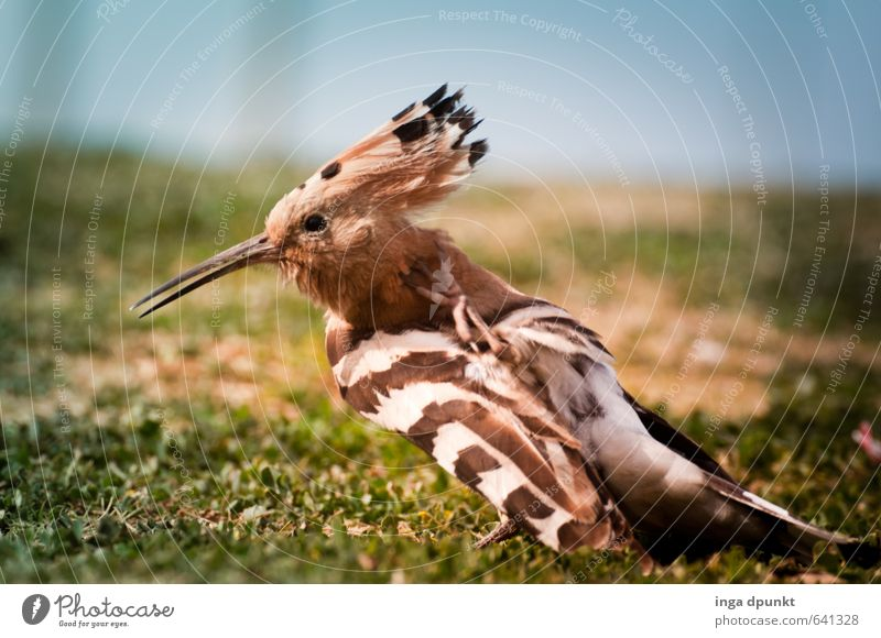 plumage care Environment Nature Animal Wild animal Bird Wing Hoopoe Racken birds 1 Environmental protection Feather Cleaning Beak Living thing Colour photo