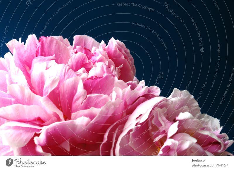 Nature Beautiful Flower Blue Plant Summer Joy Jump Style Blossom Spring Pink Fresh Rose Joie de vivre (Vitality) Idyll