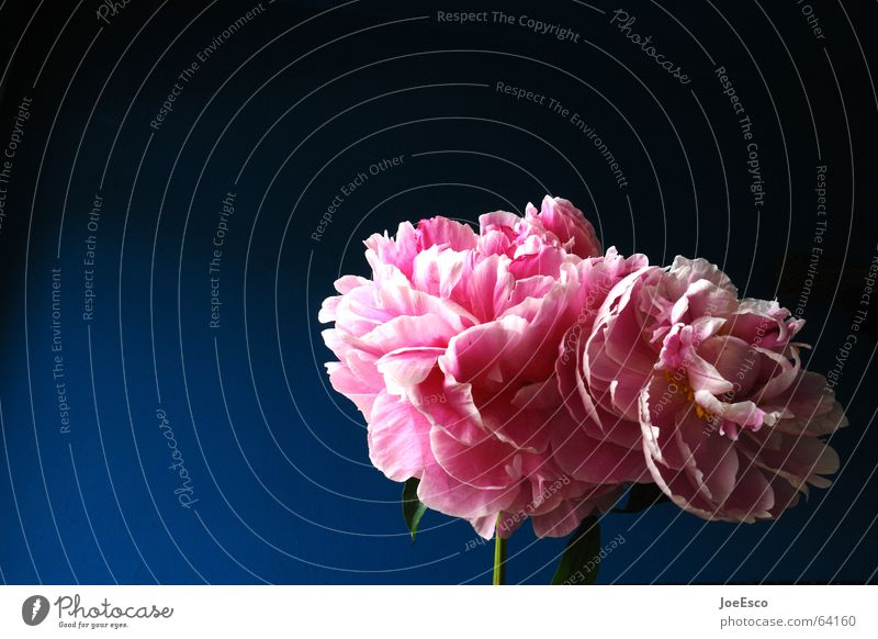 fresh flower 2 Style Summer Nature Plant Spring Flower Rose Blossom Exotic Esthetic Cool (slang) Friendliness Fresh Beautiful Blue Pink Progress Peony Pentecost