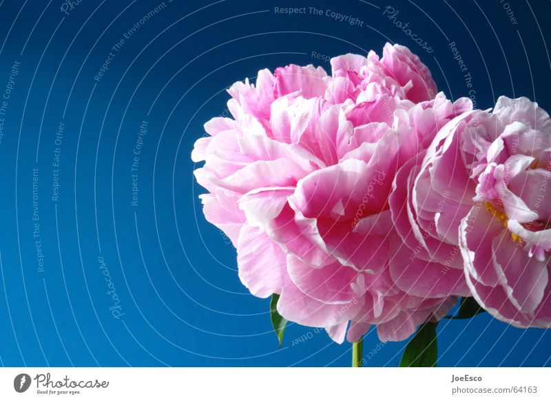 fresh flower 3 Style Summer Nature Plant Spring Flower Rose Blossom Exotic Jump Esthetic Cool (slang) Fresh Beautiful Blue Pink Progress Peony Pentecost