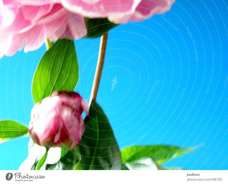 Nature Flower Blue Plant Summer Jump Style Blossom Spring Pink Fresh Rose Cool (slang) Progress Floristry Peony