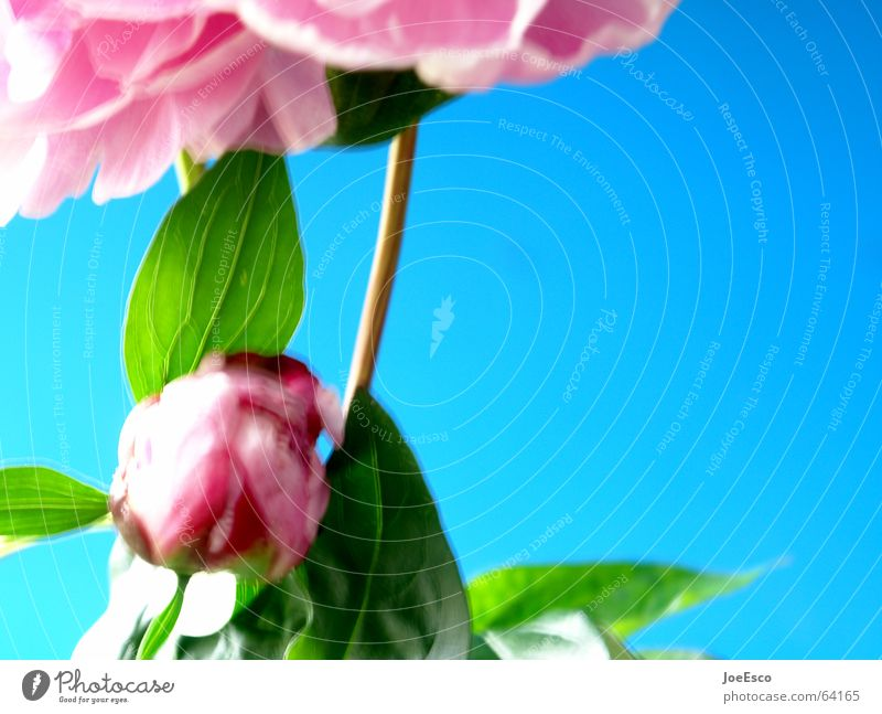 Nature Flower Blue Plant Summer Jump Style Blossom Spring Pink Fresh Rose Cool (slang) Progress Floristry Peony