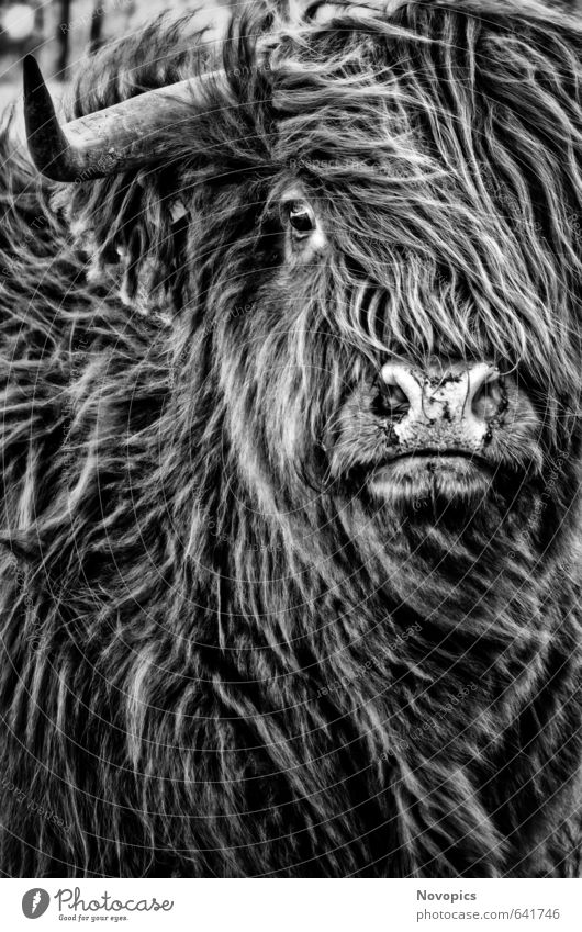 Highland Cattle Nature Animal Pelt Pet Farm animal Cow 1 Black White portrait real life Scottish Highland Cattle Highland cattle gaelian beef Nose Eyes
