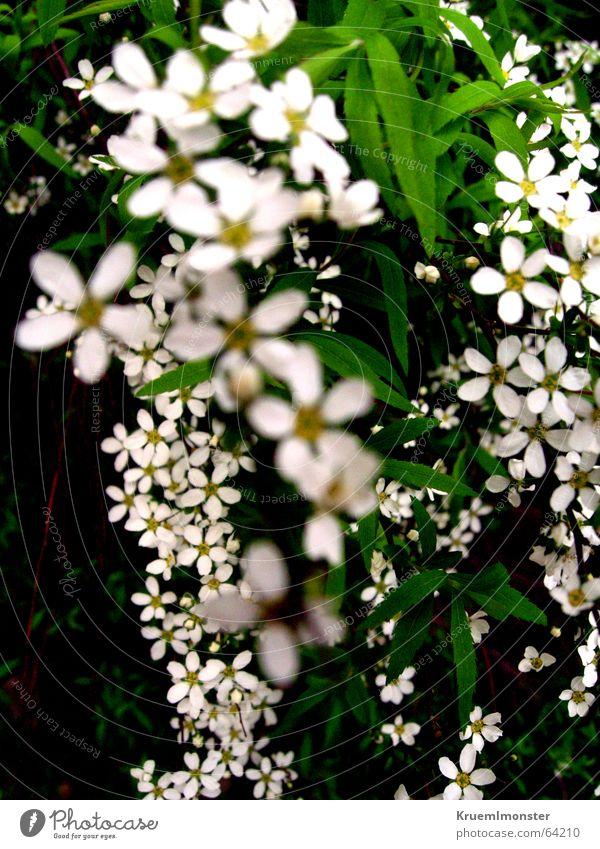 summer Flower Blossom White Summer Spring Leaf Beautiful gruga