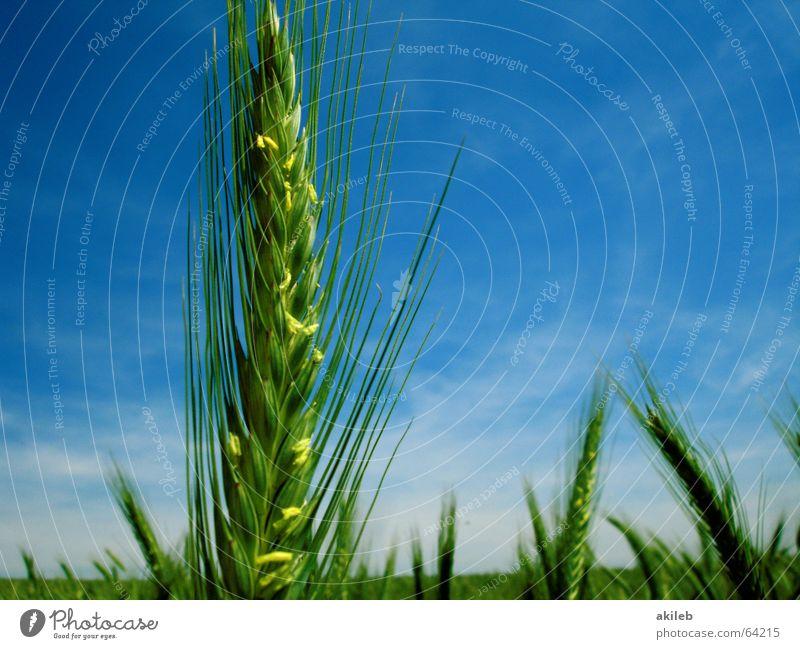 Sky Green Blue Summer Yellow Field Success Grain Grain First Rye