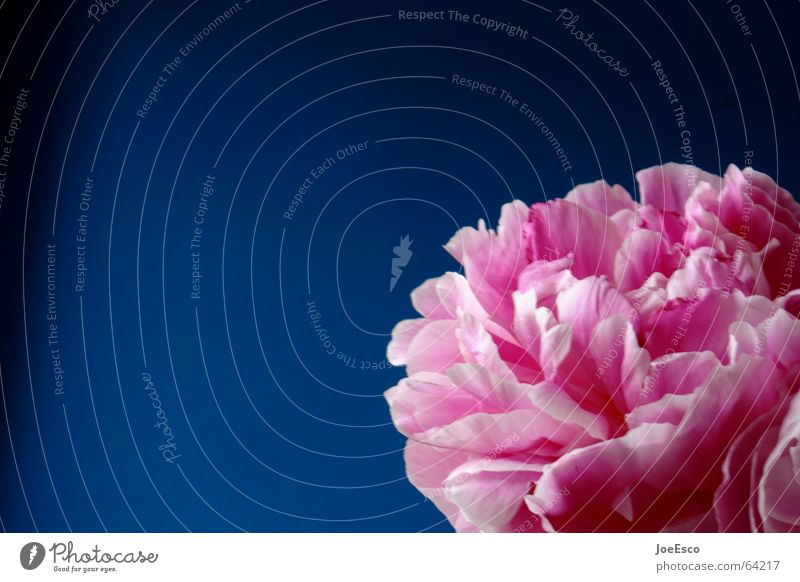 fresh flower 5 Flower Blossom Pink Progress Fresh Style Spring Jump Summer Nature Peony Rose bloom florescence Blue freshly Cool (slang) cleen Contrast bright
