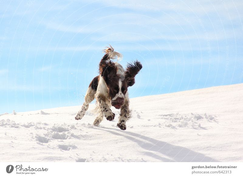 Dog Blue White Joy Animal Winter Mountain Snow Movement Jump Brown Happiness Trip Joie de vivre (Vitality) Pelt Hunting