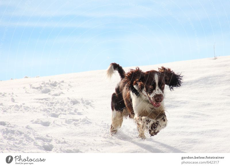 snowhound Beautiful weather Ice Frost Snow Mountain Animal Pet Dog 1 Hunting Running Playing Jump Speed Strong Blue Brown White Joy Joie de vivre (Vitality)