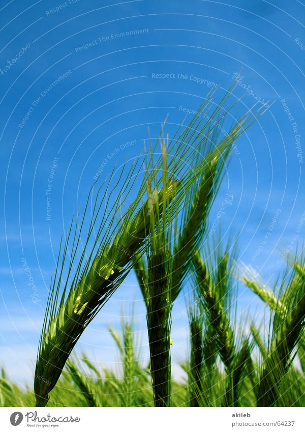 Sky Green Blue Summer Yellow Field Grain Grain Lean Affection Support Rye
