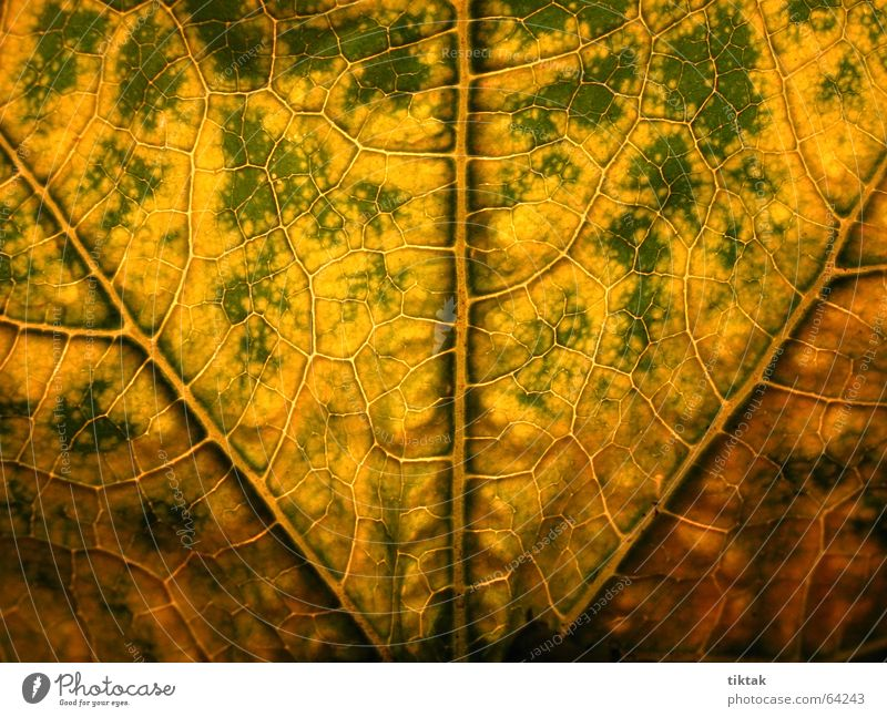 Labyrinth of courgettes 1 Leaf Vessel Underside of a leaf Botany Plant Green Yellow Brown Rachis Light Lighting Limp Leaf green Growth Provision Physics